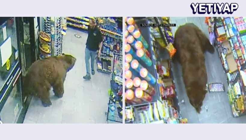 Bear That Became Viral After Going For A 'Snack Run' Has Been Relocated